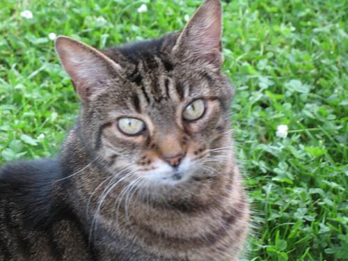 Tassie Cat