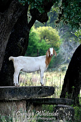 Goat By Tree