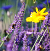 Bee on Lavender (Pete M.) Tags: holiday france flower nature insect colours bokeh lavender bee