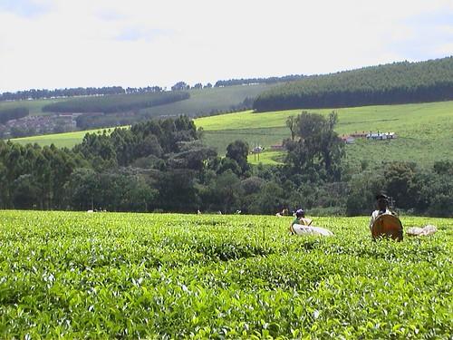 Kericho Tea Garden