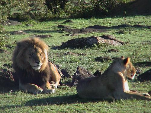 Mara Lion Couple