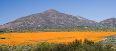 Field of orange