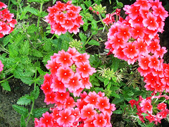 gardening could be delightful (mascha_?) Tags: pink flowers red green garden summertime bushes