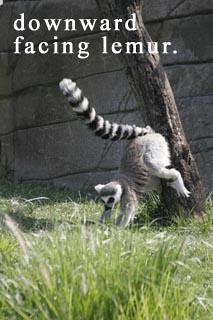 yoga lemur