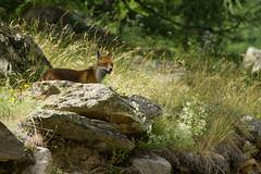 Adelr_20070724_298-Edit (reneadelerhof) Tags: italy fox aosta granparadiso