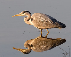 Reflections (Andrew H Wildlife Images) Tags: bird heron nature reflections wildlife coventry warwickshire brandonmarsh canon7d ajh2008 carltonhide