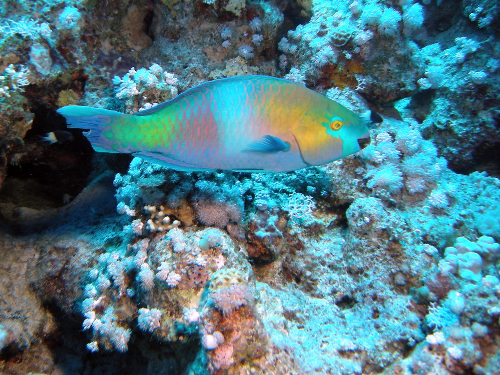 The World 39 S Best Photos Of Parrotfish And Sharm Flickr