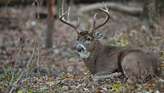 10 Point Bedding Down (Hamilton Images) Tags: november ohio canon mammal video deer toledo buck 500mm 2010 whitetaileddeer odocoileusvirginianus hdvideo 10point 14xteleconverter 5dmarkii mvi1375