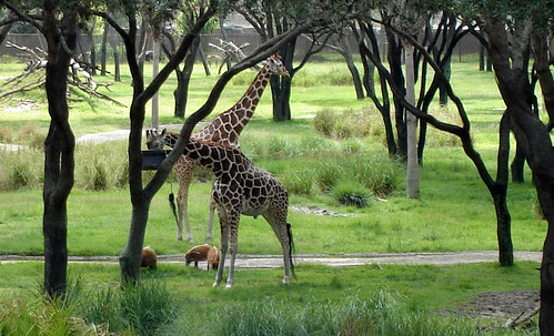 Giraffes at Walt Disney World's Animal Kingdom Resort