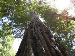 Majestic ancient redwood
