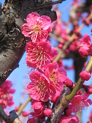 Plum blossoms (lilbitfromks) Tags: park pink flowers nature japan plumblossoms ashleyhetrick