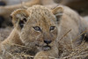 Cute Cub (Lyndon Firman) Tags: africa cute southafrica cub lion safari malamala flickrsbest specanimal animalkingdomelite