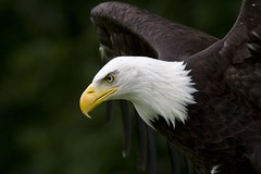 Bald Eagle - by BrianScott