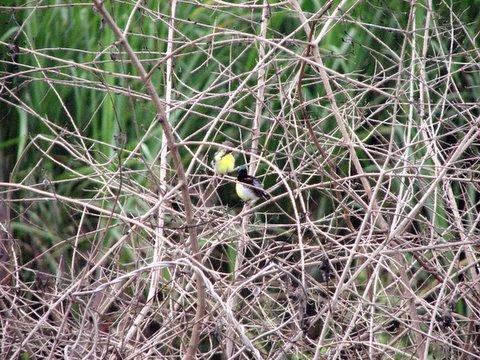 Sunbirds in the lantanas