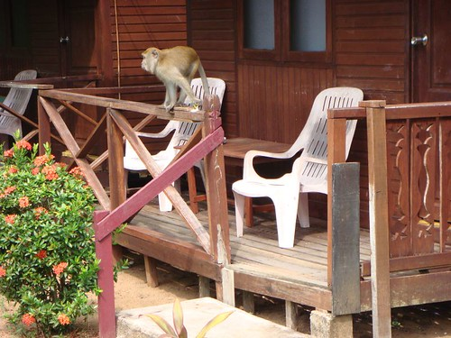 Monkey on my veranda...Tioman Island.