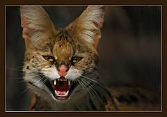 The Serval's snarl.. (hvhe1) Tags: nature animal cat bravo wildlife predator soe serval snarl naturesfinest specanimal animalkingdomelite mywinners hvhe1 hennievanheerden impressedbeauty