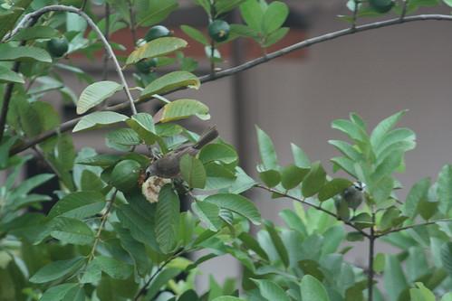 Bulbul eating guava (4)