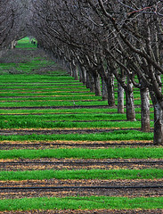 Prune Orchard (BlueOakPhotos) Tags: california county trees bravo patterns perspective orchard agriculture solano centralvalley prune sacramentovalley blueoakphotos