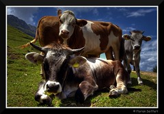 Gruppenbild mit Kuh - by Florian Seiffert (F*)