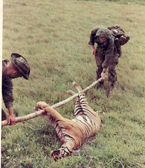 tiger viet nam 1970 (eks4003) Tags: cat big feline 1st stripes tiger bn viet bigcat jungle marines 1970 wildcat gatto nam asiantiger recon elgatto 1stmardiv kiajarheads