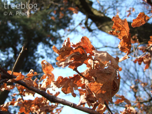last year's leaves (oak)