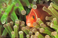 Mutualism - Vatu-i-Ra Channel, Fiji (Jim Patterson Photography) Tags: ocean sea wild orange fish color macro green nature water closeup fiji marine colorful warm underwater natural pacific wildlife south dive scuba diving anemone tropical tropics fins invertebrate alacrity aquatica nikkor105mm cnidaria pinkanemonefish pomacentridae mutualism bl