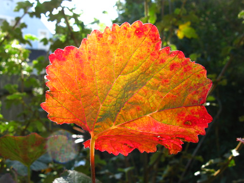 This is my one leaf of fall color in the garden.
