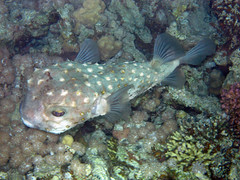 (Andurinha) Tags: redsea diving buceo marrojo