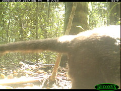 White-nosed Coati (siwild) Tags: bci nasuanarica whitenosedcoati taxonomy:group=othercarnivores othercarnivores sequence:index=97 taxonomy:species=nasuanarica taxonomy:common=whitenosedcoati siwild:study=fruitingpalmtrees siwild:studyId=panapalm siwild:plot=25 siwild:Rank=0 geo:locality=panama file:name=img7234jpg sequence:length=170 siwild:location=1885 siwild:camDeploy=1362 sequence:id=37077 siwild:trigger=80601 siwild:imageid=789710 file:path=dpicsrunsattamammalsvplot8c3img7234jpg siwild:date=200908221407000 siwild:region=panama siwild:species=130 sequence:key=85 geo:lon=9155856 geo:lat=79831033 BR:batch=sla0620101223062515