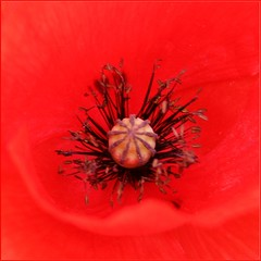klaproos rood hart / in the heart of a poppy (Anne-Miek Bibbe) Tags: red june juni garden rouge poppy tuin rood klaproos coquelicot papaver amapola mohnblume redpoppy mohnblumen mohnblte bibbe annemiekbibbe rodepapaver rodeklaproos