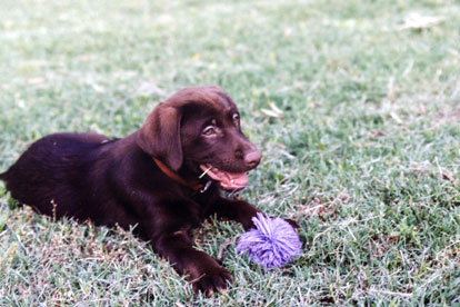 chcoclate labrador retriever puppy'
