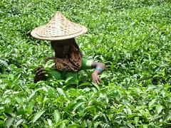 Tea Plucker No.1 (Nubsy) Tags: tea bangladesh plantations srimongal