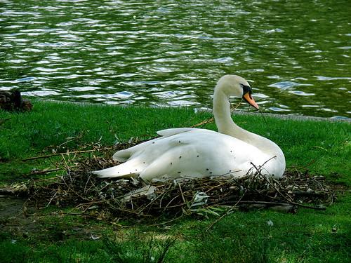 Boston Public Gardens Swan