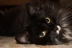 Hitler wanna be (blapsapian) Tags: black cute green cat d50 eyes nikon kitten hitler kitty whiskers wannabe kissablekat