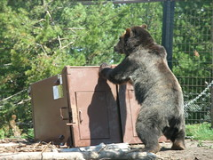 DSCN7834.JPG (TallTrent) Tags: bear west garbage wolf montana bears 7 august center testing container yellowstone grizzly discovery wolves 2007 grizzlies resistant westyellowstonemontana grizzlyandwolfdiscoverycenter grizzlywolfdiscoverycenter