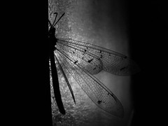 Dragonfly female lays on a door (Eleonore Indra) Tags: camera light blackandwhite bw france interestingness interesting flickr searchthebest noiretblanc dragonfly nb explore lay libellule aubagne naturesfinest pterygota supershot fourmilion sonydsch2 myrmeleontidae abigfave megashot superhearts eleonoreindra megashots fourmislion