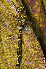 "Common Hawker Dragonfly (Aeshna junce(7) • <a style=""font-size:0.8em;"" href=""http://www.flickr.com/photos/57024565@N00/1214880925/"" target=""_blank"">View on Flickr</a>"