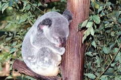 Koala Nap (bekahlp) Tags: animal australia brisbane koala wildanimal animaladdiction thebiggestgroupwithallkindofanimals lonepinekoalareserve