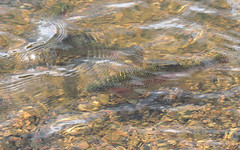 Trout at Mount Lofty (Jack High) Tags: fish gardens trout botanicalgardens adelaidehills mountlofty