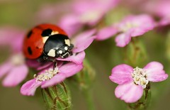Ladybird on pink flowers