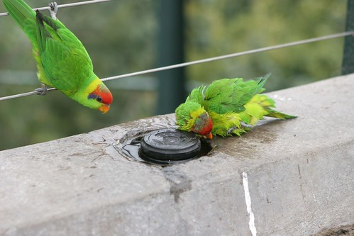 A pair of lorikeets in San Diego Zoo Aviary