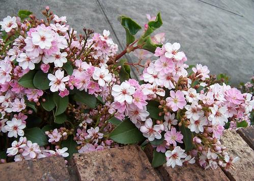 White & pink bush