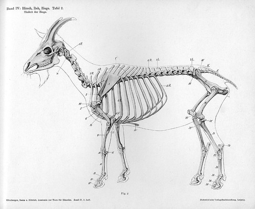 goat - lateral skeleton view