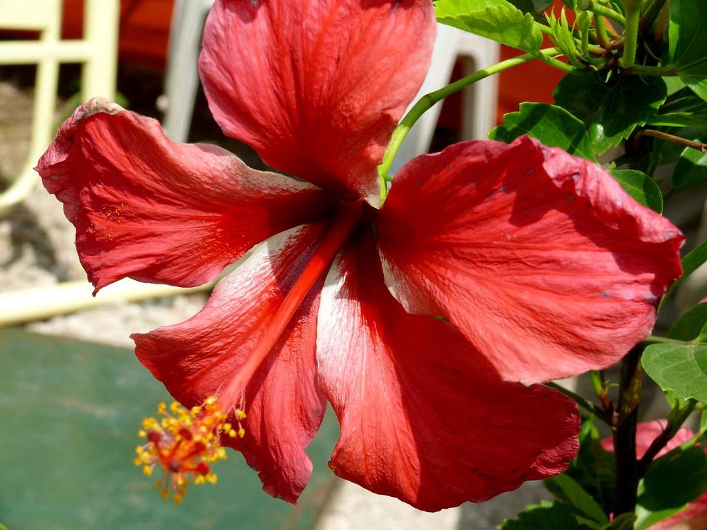 The worlds best photos of hibiscus and jaswand flickr hive mind hibiscus himanshu sarpotdar tags india macro panasonic hibiscus maharashtra pune fz50 chinarose flowerscolors izmirmasajfo Images
