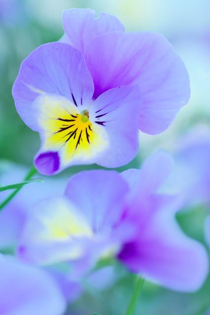 パスカリの花