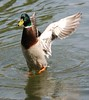 14.05.2010 D7 Dinton Pastures 016 (PeaTJay) Tags: flowers plants nature birds gardens lakes reserve ducks carlsbirdclub