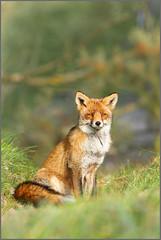 Beyond his shadow (hvhe1) Tags: nature animal fauna pose nationalpark bravo wildlife natuur fox sit zit awd interestingness11 vos redfox renard naturesfinest natuurreservaat amsterdamsewaterleidingduinen specanimal hvhe1 hennievanheerden