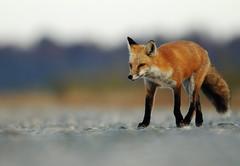 Moving On (GrimPapa) Tags: road november red fall nikon angle cloudy wildlife low telephoto fox bombay hook gravel refuge bombayhook