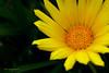 Gorgeous Yellow (labtamg) Tags: flower garden flora backyard sydney australia yellew