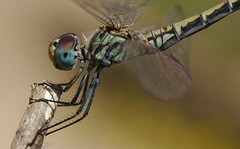 Dragonfly Cropped (David Lev) Tags: bravo dragonfly insects mygarden coolest naturesfinest blueribbonwinner nirim supershot outstandingshots flickrsbest twtme mywinner impressedbeauty superaplus aplusphoto 1on1allbugs diamondclassphotographer flickrdiamond ysplix excellentphotographerawards macromarvels